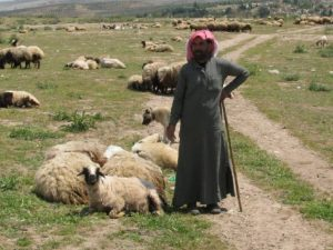 kurdish-shepherd-syria